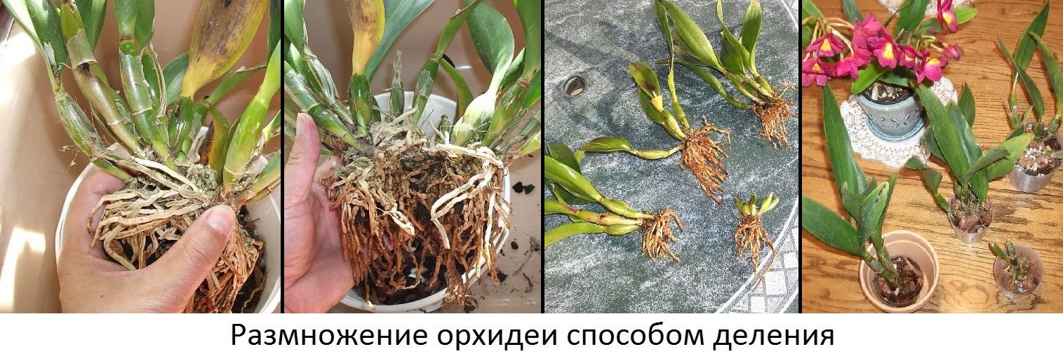 Размножение методом деления