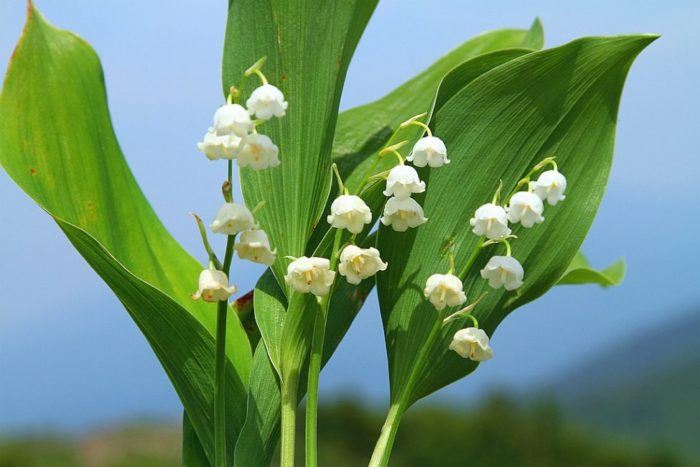 цветок ландыш