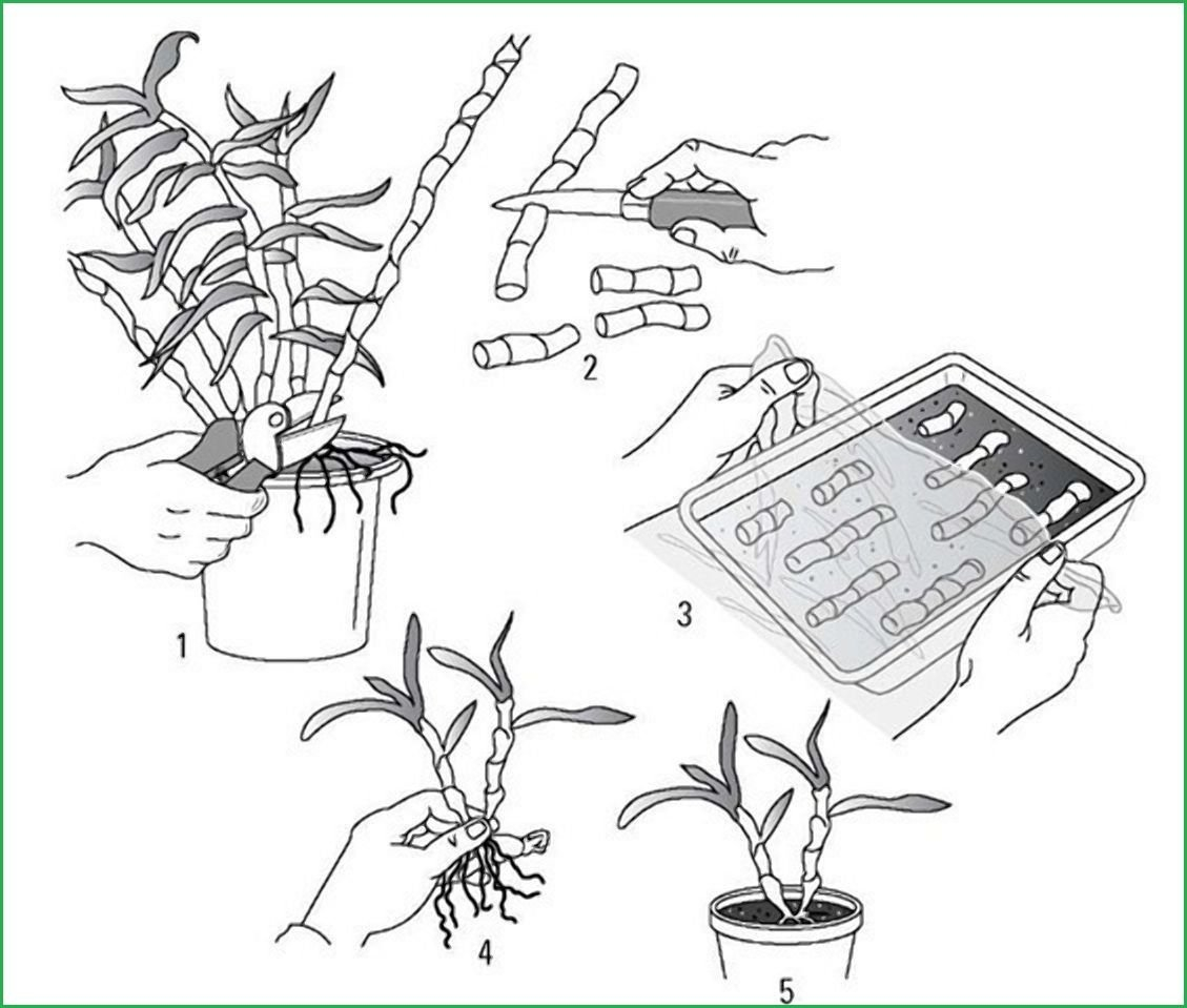 Черенки и детки орхидеи