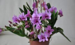 разновидности домашних орхидей