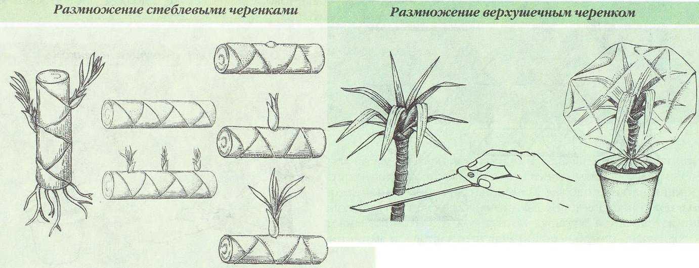 размножение драцены стеблем