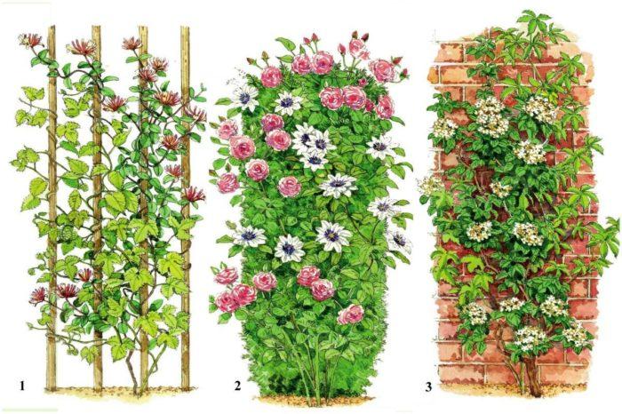 вьющиеся растения для ландшафтного дизайна