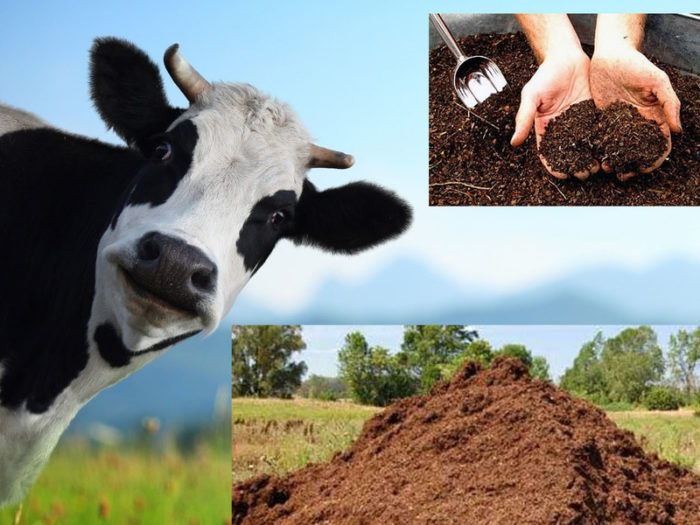 коровий навоз для почвы