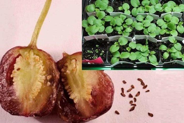 размножение фуксии семенами