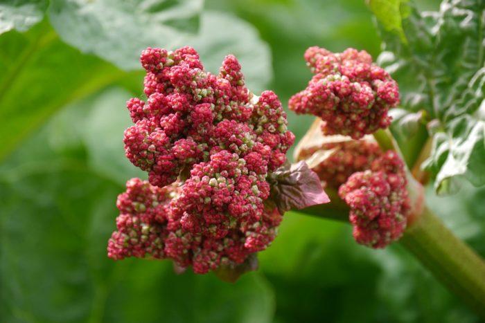 цветок ревень