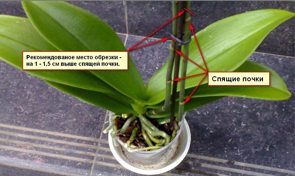 Правила обрезки орхидеи