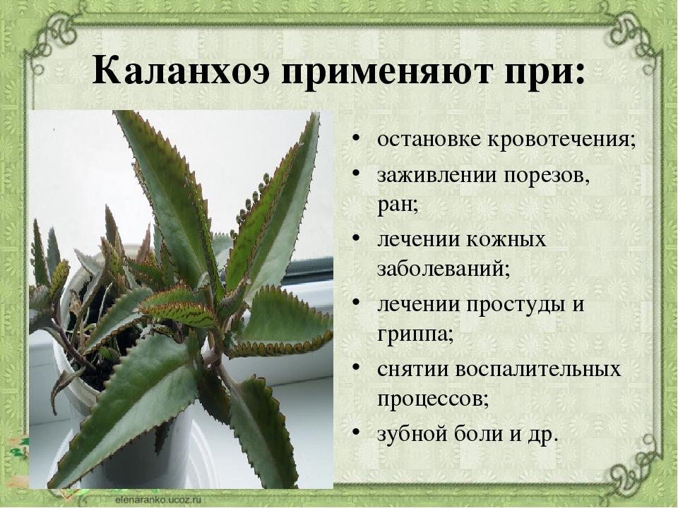полезные свойства каланхоэ