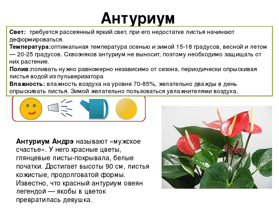 уход за цветком антуриум
