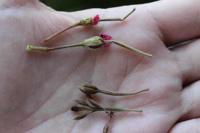 размножение герани семенами