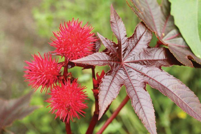 растение клещевина