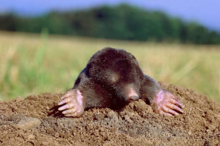 коричневый полевой крот