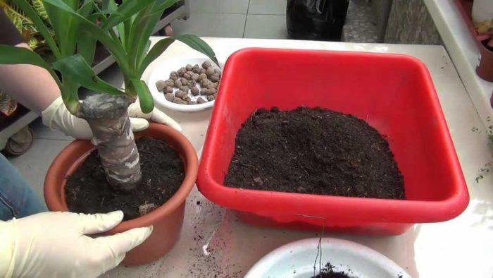 пересадка пальмы юкка