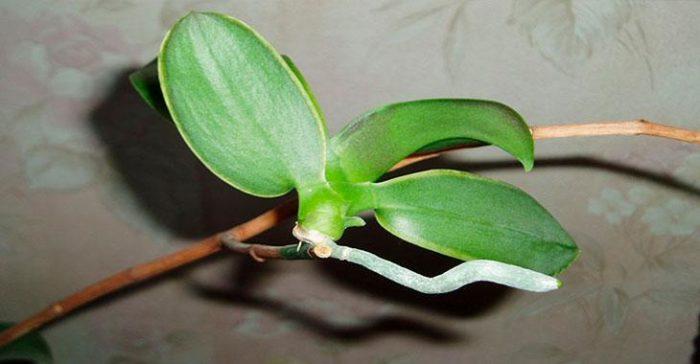 Размножение отводками цветка