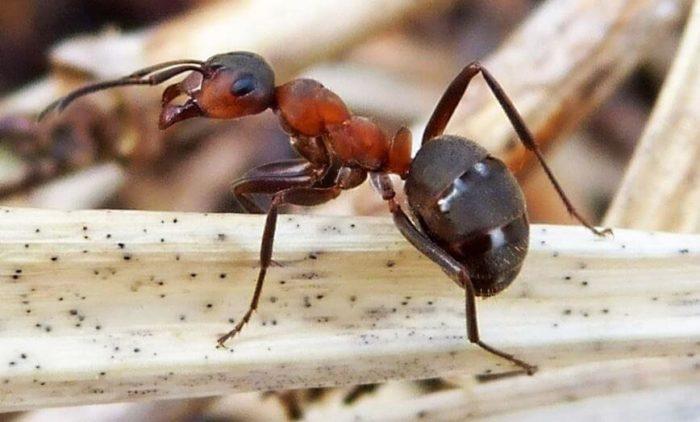 Обычные садовые муравьи
