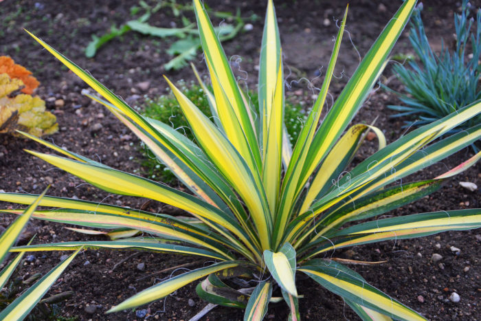 пальма юкка в саду