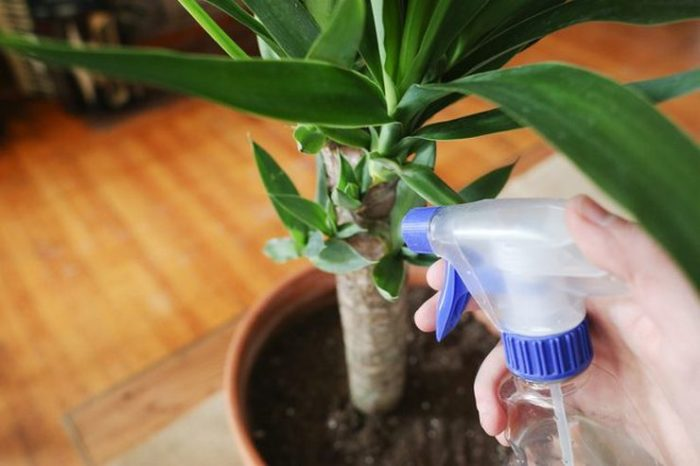 полив пальмы юкка