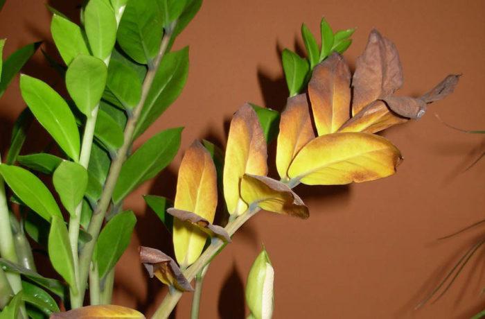 сохнут листья замиокулькаса