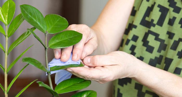 протираем листья у замиокулькаса