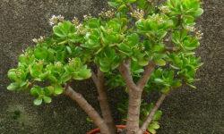 разновидности денежного дерева