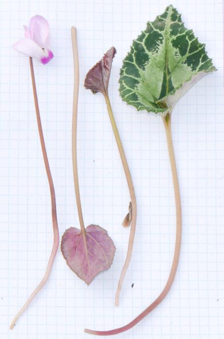выращивание цикламена из листа