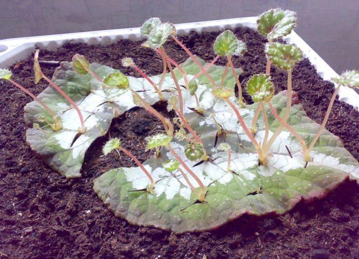 Размножение листьями