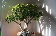 уход за денежным деревом в домашних условиях