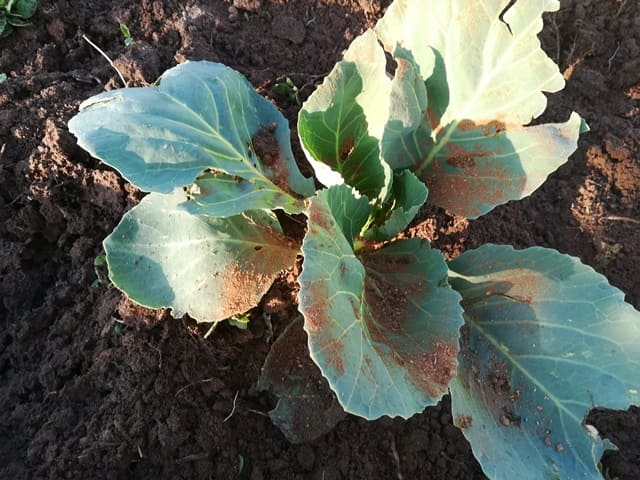 применение табачной пыли для капусты