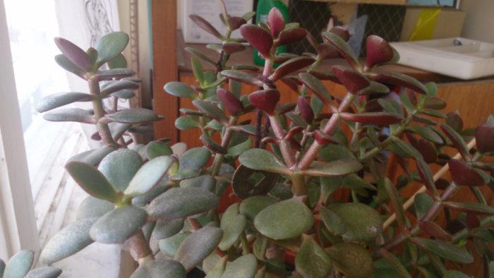 Листья краснеют или желтеют