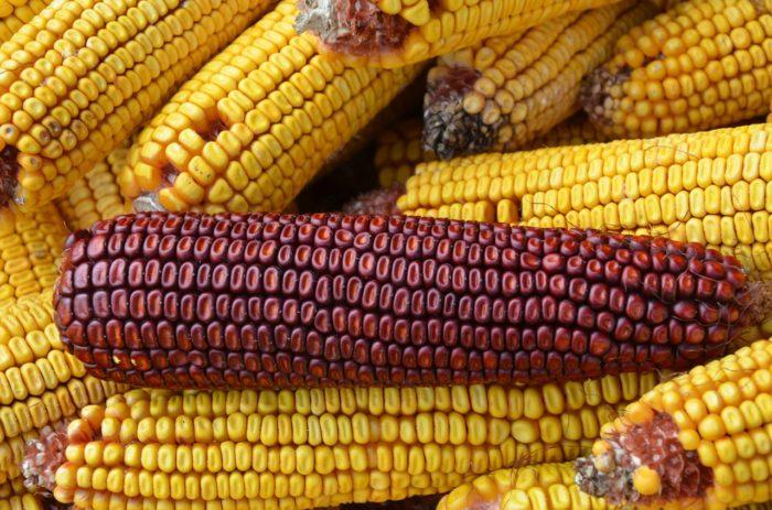 перезревшая кукуруза
