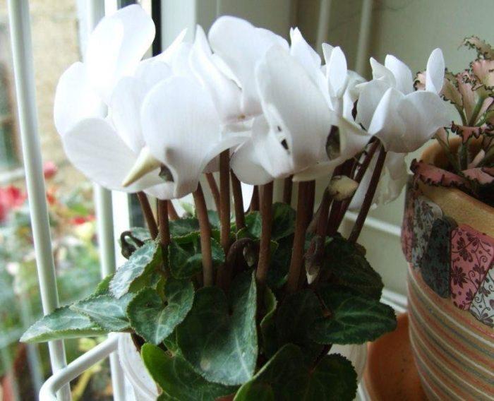 Уход за цикламеном в период цветения