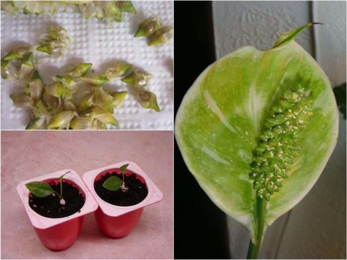 Выращивание спатифиллума из семян