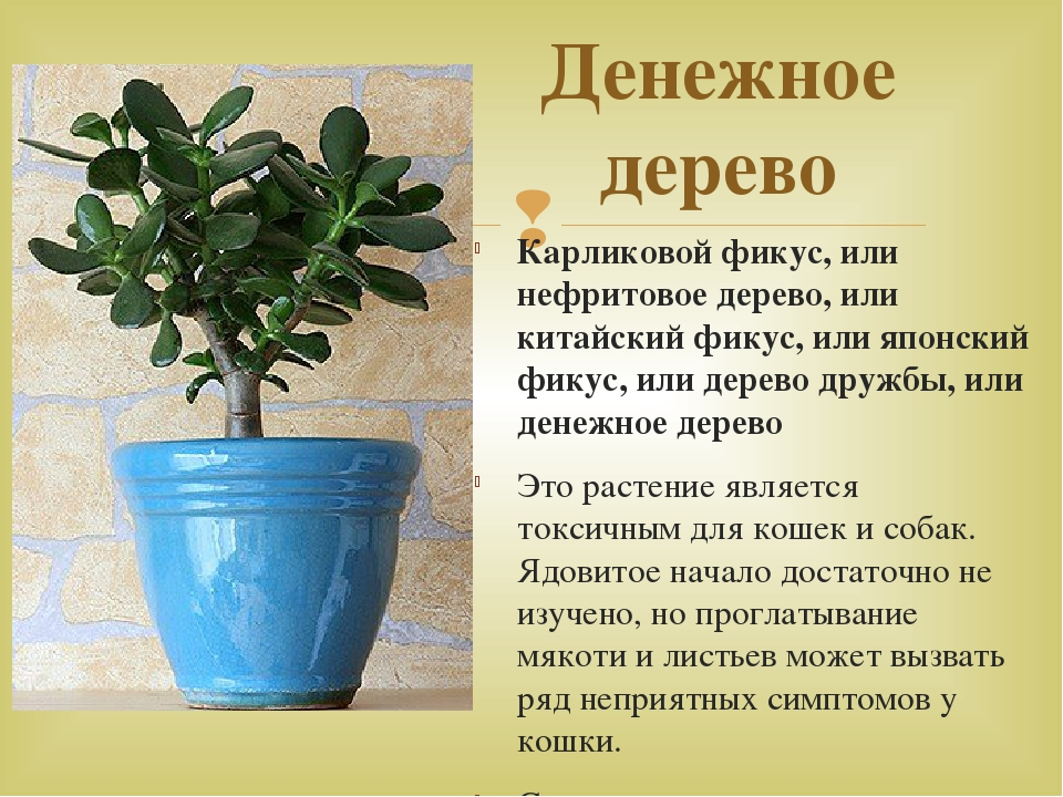 что такое денежное дерево