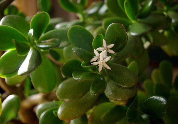 растения для привлечения богатства