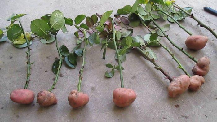 Укоренение роз в картофеле